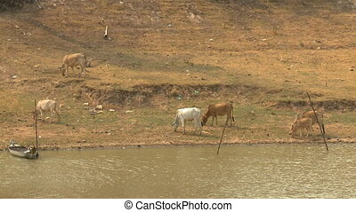 A daylight medium shot of a group of grass-eating cows feeding, walking, and scavenging by the shore of a calm river.