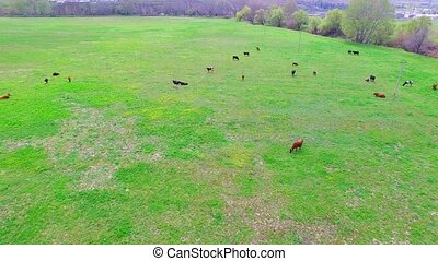 A herd of cows eats grass on the field. bird's eye view.