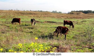 A herd of cows grazing in a pasture