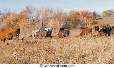 A herd of cows grazing in meadow in the deep autumn. - A...