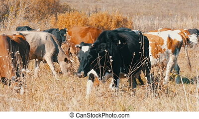 A herd of cows grazing in meadow in the deep autumn.
