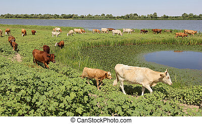 A herd of cows - herd of cows in a pasture near the river on...