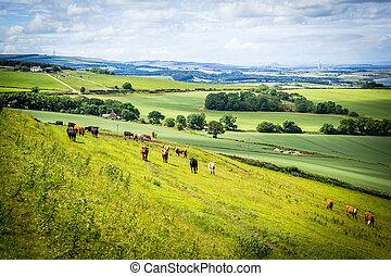 A herd of cows in a field in Scotland, Scottish summer landscape, East Lothians, Scotland, UK