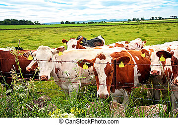 A herd of cows in the fields, close up