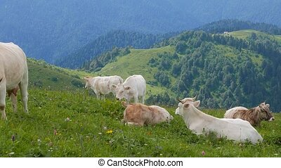 A herd of cows in the mountains. Ridge Aibga. Sochi, Russia
