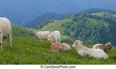 A herd of cows in the mountains. Ridge Aibga. Sochi, Russia