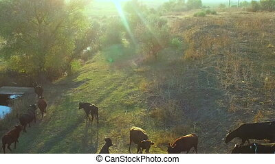 A Herd of Cows on Casture