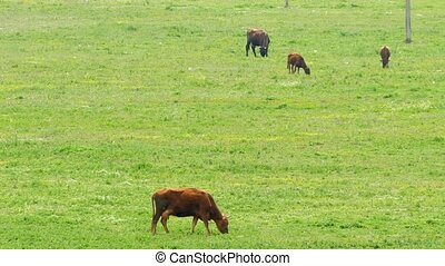 A herd of cows on grazing on a green field. Cows pinch green...