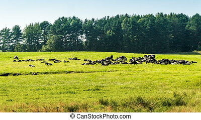 A herd of cows on green grass near forest time lapse