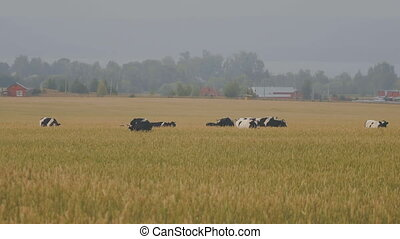A herd of cows on the meadow of ears wheat