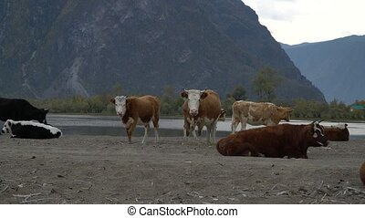 A herd of cows on the sandy shore of a mountain river.
