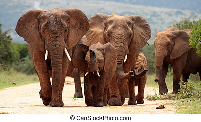 A herd of elephants charge in Addo Elephant national park, ...