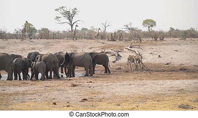 A herd of elephants drinks water, Masai Mara National Park, Kenya.