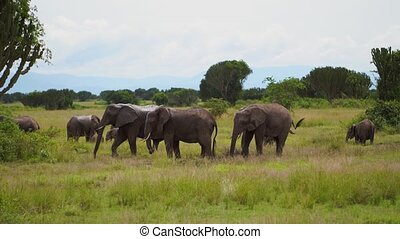a herd of elephants graze in the bushes among the candelabra trees