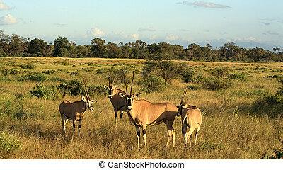 A herd of gazelle's