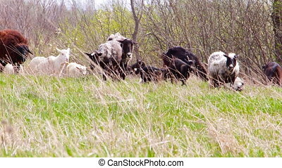 A herd of goats and sheep go on meadow