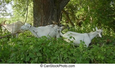 Livestock grazes graze in the forest. A herd of goats eat leaves and grass while walking in the village