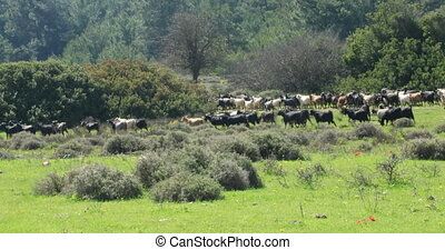 A herd of goats on mountain meadow