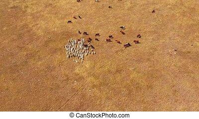 A herd of goats passes through a herd of cows. bird's eye view.