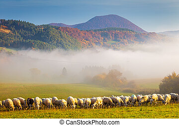 A herd of grazing sheep on a meadow.
