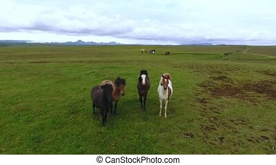 A herd of horses stand on a pasture in Iceland. Andreev.