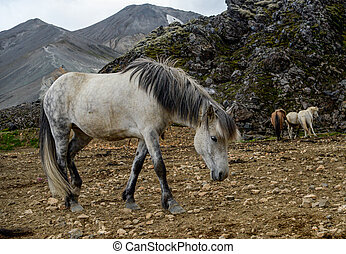 A herd of Icelandic horses in Iceland