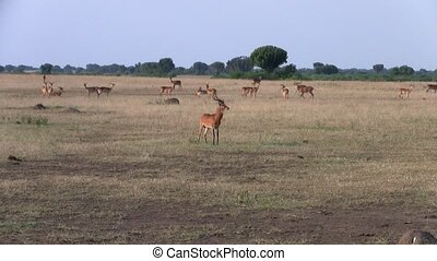 A Herd of Impalas Grazing in the Plain
