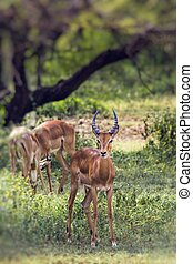A herd of male impala, Aepyceros melampus, standing in the vegetation in Serengeti National Park, Tanzania