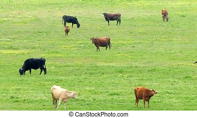 A herd of multicolored cows grazing on the field