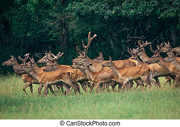 a herd of red deer in a forest
