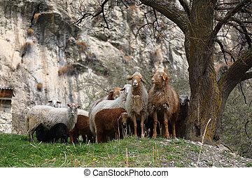 A herd of sheep grazing