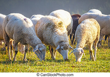 A herd of sheep on a meadow.