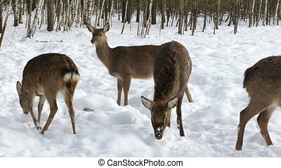 A herd of Sika deer came out of the winter forest in search...