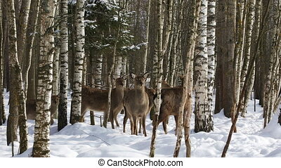 A herd of Sika deer in the forest - A herd of Sika deer in...