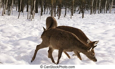 A herd of Sika deer in the winter forest - A hungry herd of...