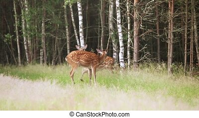 A herd of spotted deer emerge from the woods on the lawn