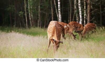 A herd of spotted deer grazing in the woods early in the...