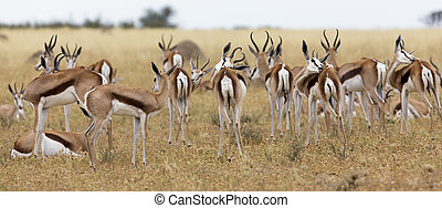 A herd of springbok grooming themselves after the rainstorm passed