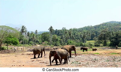a herd of wild elephants