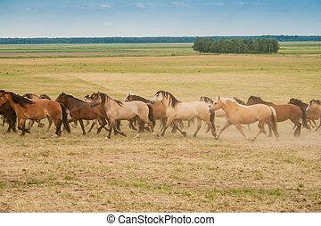 A herd of wild horses run across the field.