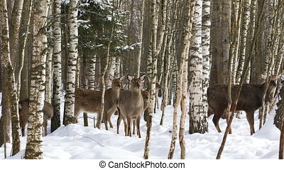 A herd of wild Sika deer in the forest - A herd of wild Sika...