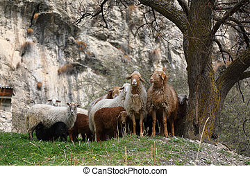 a, herde schafs, weiden