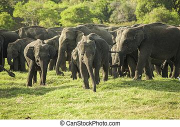 a, herde, von, asiatisch, elefanten