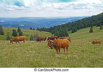 a, herde, von, kühe, schwarzen, wald