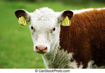 A hereford calf.