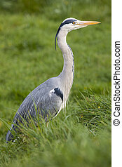 Heron - A Heron sitting in the grass.