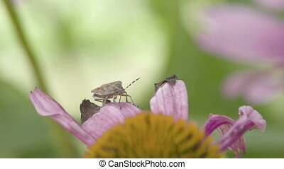 A Heteroptera bug crawling on the petal