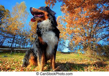 a, heureux, chien montagne bernese, dehors