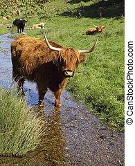 a highland cow cooling down in a stream