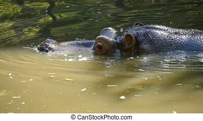 A closeup view of a funny river-horse swimming in green waters of a zoo pond on a sunny day in summer in slow motion. Life is good, hippo is happy